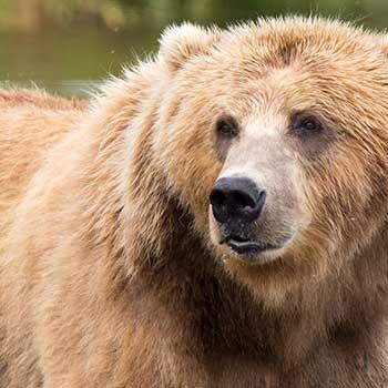Cruise Alaska - Brown Bear